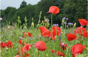Wild poppies growing in Crieff